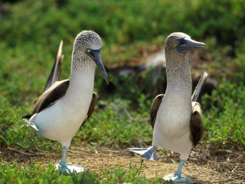 Blue-footed Boobies. Bloobies.